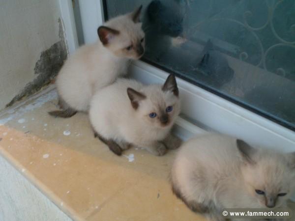 chat tunisie