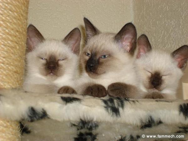 Chats Siamois à Vendre